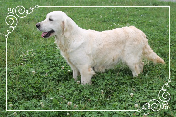 Elevage Golden Retriever, Chiots Golden Retriever, Côtes d'armor, 22, Bretagne, la villa des truffes d'or