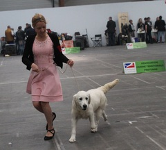 élevage Golden retriever, golden retriever, golden, élevage chien bretagne, élevage golden retriever bretagne, élevage chiots golden retriever, meilleur élevage golden retriever france